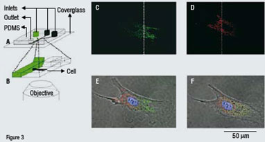Partial treatment of a bovine capillary endothelial cell