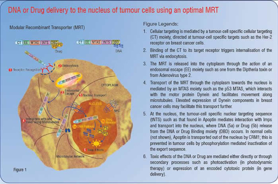 DNA or Drug delivery to the nucleus of tumour cells using and optimal Modular Recombinant Transporter (MRT)